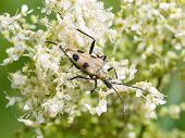 image of meadowsweet  - spotted longhorn beetle on a blooming meadowsweet macro selective focus shallow DOF - JPG