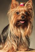 picture of yorkshire terrier  - happy little yorkshire terrier puppy dog with mouth open and tongue exposed looking at the camera  - JPG