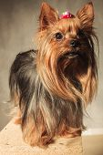 picture of yorkshire terrier  - cute  yorkshire terrier puppy dog  standing ona wooded box and looks away from the camera in studio - JPG
