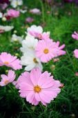 picture of cosmos flowers  - pink cosmos flowers in green garden field vertical form - JPG