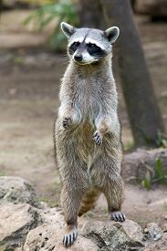 picture of raccoon  - Raccoon sitting and staring intently - JPG