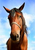 pic of brown horse  - portrait of brown horse - JPG