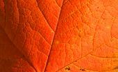 stock photo of stomata  - Red maple leaf close up good for background - JPG