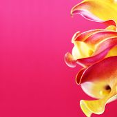 Beautiful details of calla lilies on red background