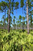 foto of saw-palmetto  - Landscape of the pine flatwoods on a sunny day - JPG