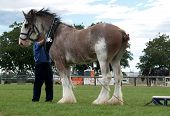 stock photo of clydesdale  - A clydsedale in harnesswith the handler adjusting the straps - JPG