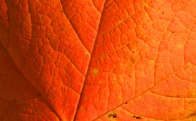 image of stomata  - Red maple leaf close up good for background - JPG