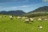 stock photo of farm animals  - Sheep and rams in Connemara mountains - JPG