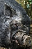 pic of pot-bellied  - Close up portrait of a Vietnamese Pot bellied pig Sus scrofa laying on the ground fast asleep - JPG
