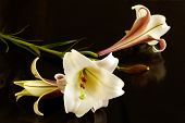 foto of easter lily  - White african Easter lily - JPG