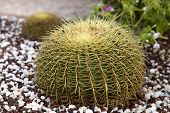 Beautiful Large Echinocactus On A Bed With Small Brown And White Pebbles. Cropped Shot, Close-up, Pl poster