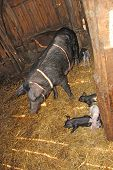 Pig Mother And Pigs In Barn. Brood Of Little Pigs On Farm. Pig Family poster