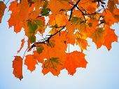 Maple Treetop. Maple Tree With Bloody, Yellow, Orange, Red  Maple Leaves With A Blue Sky poster