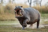 Aggressive Hippo Male Attacking The Car. Huge Hippo Male Intimidating The Opponent. Wild Animal In T poster