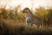 African Leopard Female Pose In Beautiful Evening Light. Amazing Leopard In The Nature Habitat. Wildl poster