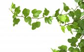 pic of climber plant  - Image of the branch is ivy on a white background - JPG