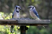 stock photo of blue jay  - Two blue jays feeding at a bird - JPG