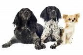 pic of epagneul  - portrait of brittany spaniels and chihuahua in front of white background - JPG