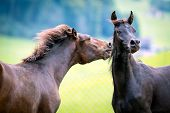 image of brown horse  - Two horses playing on green background - JPG
