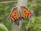 stock photo of gadfly  - Butterfly the small tortoiseshell and a gadfly drink wood juice - JPG