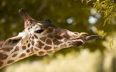 image of long tongue  - Giraffe eating leaves from a tree up close - JPG