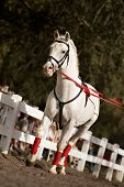 image of lipizzaner  - Young lipizzan horse training before an audience - JPG