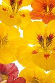 image of nasturtium  - Studio Shot of Yellow and Orange Colored Nasturtium Flowers Background - JPG