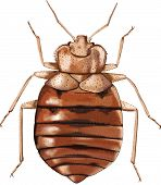 Common Bedbug - Vector Illustratiion