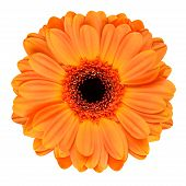 stock photo of zinnias  - Orange Gerbera Flower with Black Center - JPG