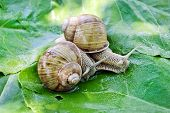 image of hermaphrodite  - Two large snails on the background of green leaves - JPG