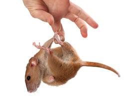 foto of fancy mouse  - Fancy rat hang on hand - JPG