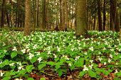 stock photo of trillium  - Trillium flourish in the northern woodlands. Trillium Grandiflorum are the flower of Ohio and Ontario. Their presence heralds the arrival of spring and reprieve from the long cold winter. Lakeport State Park. Lakeport, Michigan.