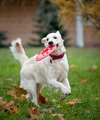 picture of frisbee  - Golden retriever running with a disk to owner  - JPG