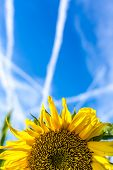 picture of heliotrope  - Colourful bright yellow sunflower growing in an agricultural field under a sunny blue summer sky with a pattern of contrails or vapour trails from jetliners - JPG