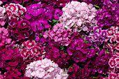 Sweet william flowers pic.