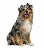 stock photo of australian shepherd  - Australian shepherd blue merle - JPG