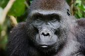 picture of gorilla  - Portrait of a female of The western lowland gorilla  - JPG