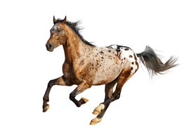 foto of appaloosa  - an appaloosa stallion isolted on a white - JPG