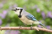 stock photo of blue jay  - Blue Jay  - JPG
