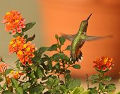 image of lantana  - A Rufous Hummingbird takes flight after enjoying the nectar of orange Lantana flowers.