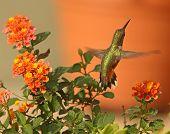 pic of lantana  - A Rufous Hummingbird takes flight after enjoying the nectar of orange Lantana flowers. ** Note: Visible grain at 100%, best at smaller sizes - JPG