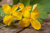 image of celandine  - yellow celandine flowers closeup on a wooden table - JPG