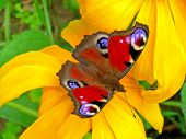 picture of butterfly  - Peacock butterfly sitting on the yellow flower. The�European Peacock�(Inachis io), more commonly known simply as the�Peacock�butterfly.