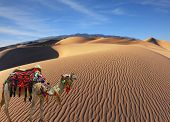 stock photo of dromedaries  - The magnificent Arabian camel in the desert sand - JPG