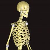 picture of skeleton  - The human skeleton is the internal framework of the body - JPG