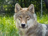 stock photo of lupus  - European gray wolf  - JPG