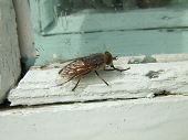 stock photo of gadfly  - horsefly bullish sitting on a white window frame - JPG