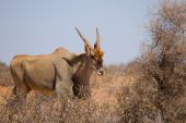 picture of eland  - Male Common Eland  - JPG