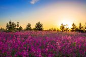 pic of sunrise  - summer rural landscape with purple flowers on a meadow and sunrise - JPG