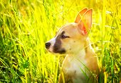 picture of american staffordshire terrier  - The puppy of the American Staffordshire terrier sits in a high grass - JPG